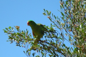 Parrott snacking on a tree