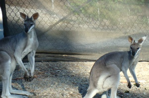 Finally, some tame Wallabies.  This is the closest I'm sure to ever get.